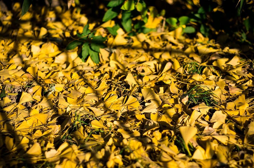 Ginkgo, Jing Shan, Beijing, Autumn, Environment
