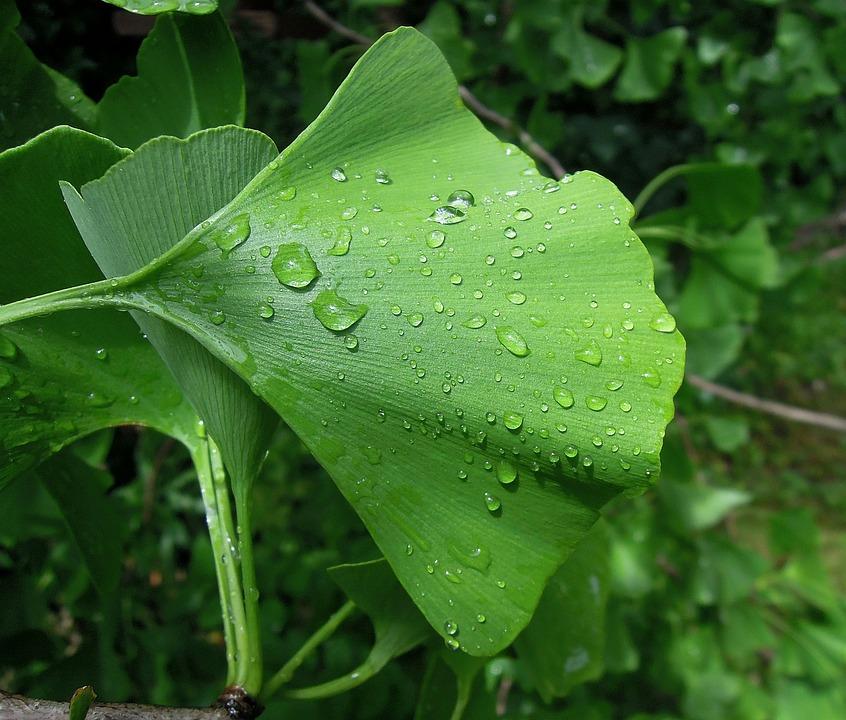 Foliage, Ginkgo Leaf, Ginkgo Biloba, Holidays, Green