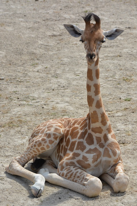 Giraffe, Animal, Neck, Mammal