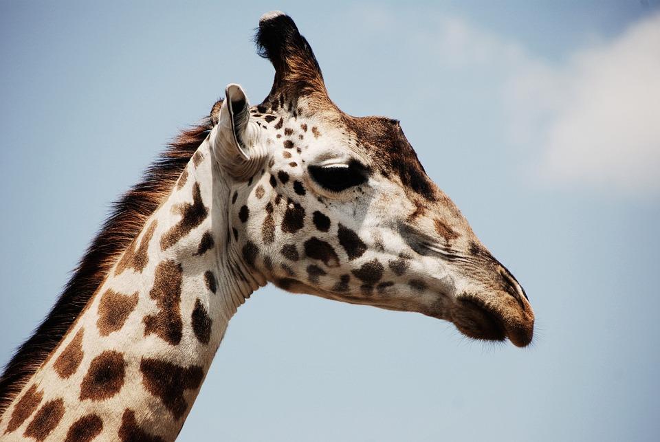 Animal, Close-up, Giraffe, Safari, Wildlife, Zoo