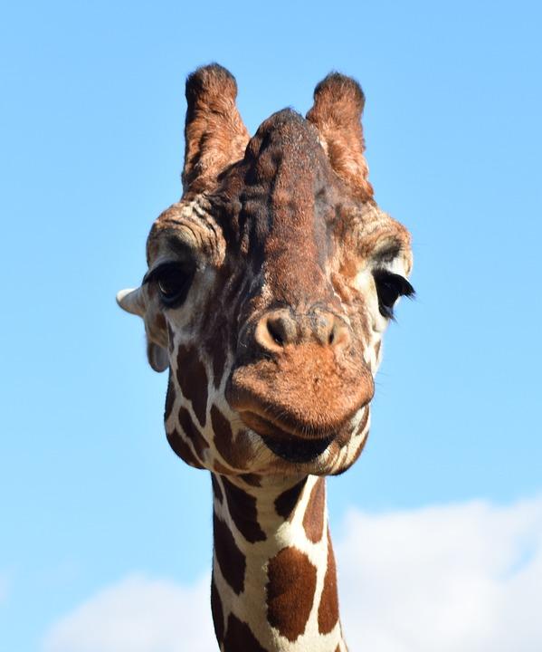 Giraffe, Face, Africa, Animal, Beautiful, Big, Cage