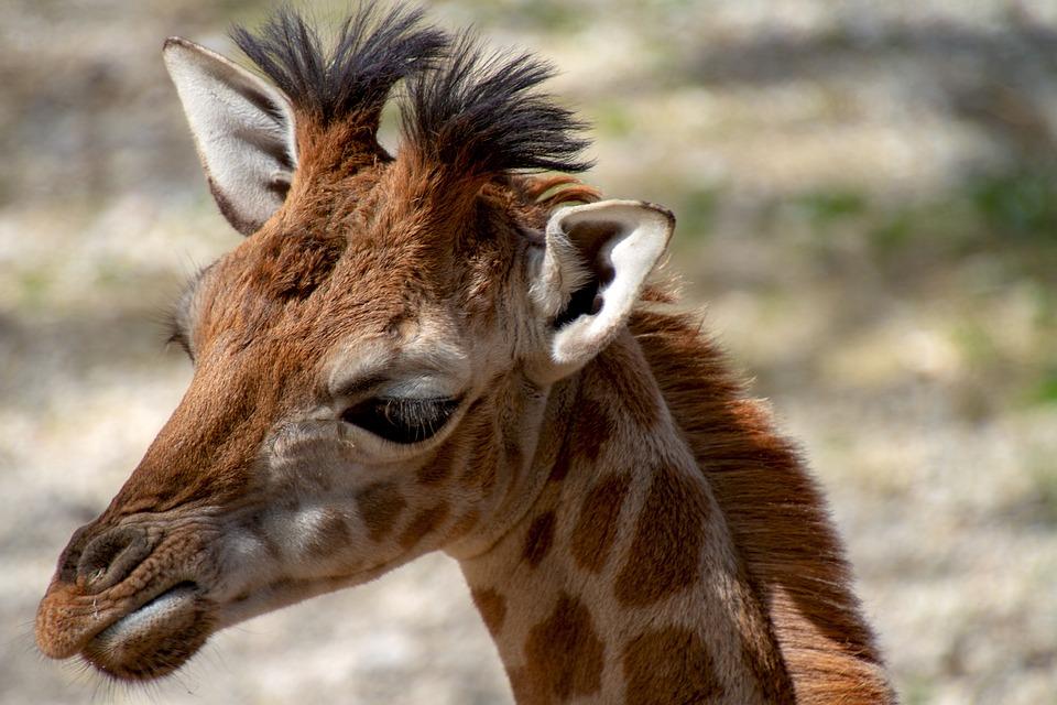 Giraffe, Young Animal, Giraffe Head, Animal World