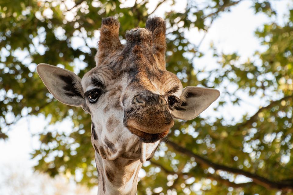 Giraffe, Head, Ossicone, Long-necked, Giraffe Head