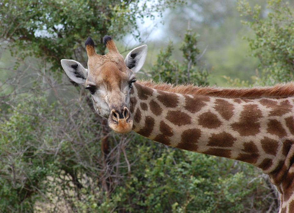 Giraffe, Safari, Nature, Animal, Head, Neck