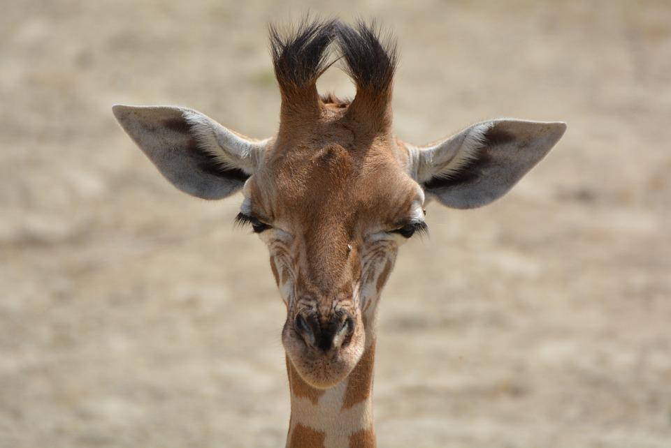 Giraffe, Animal, Neck, Mammal