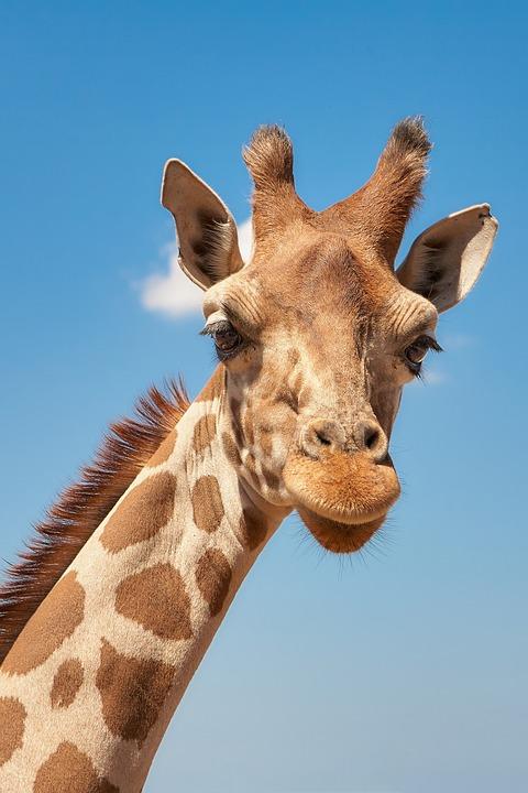 Giraffe, Cameloparadalis, Fauna, Head Drawing, Mammal