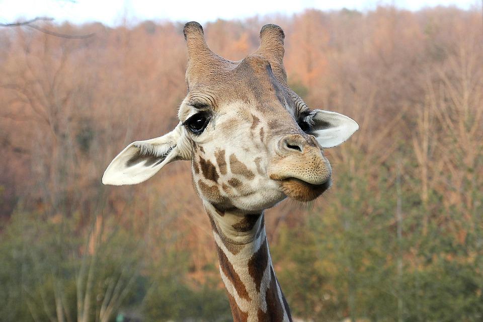 Giraffe, Face, Animal, Mammal, Nature, African, Zoo