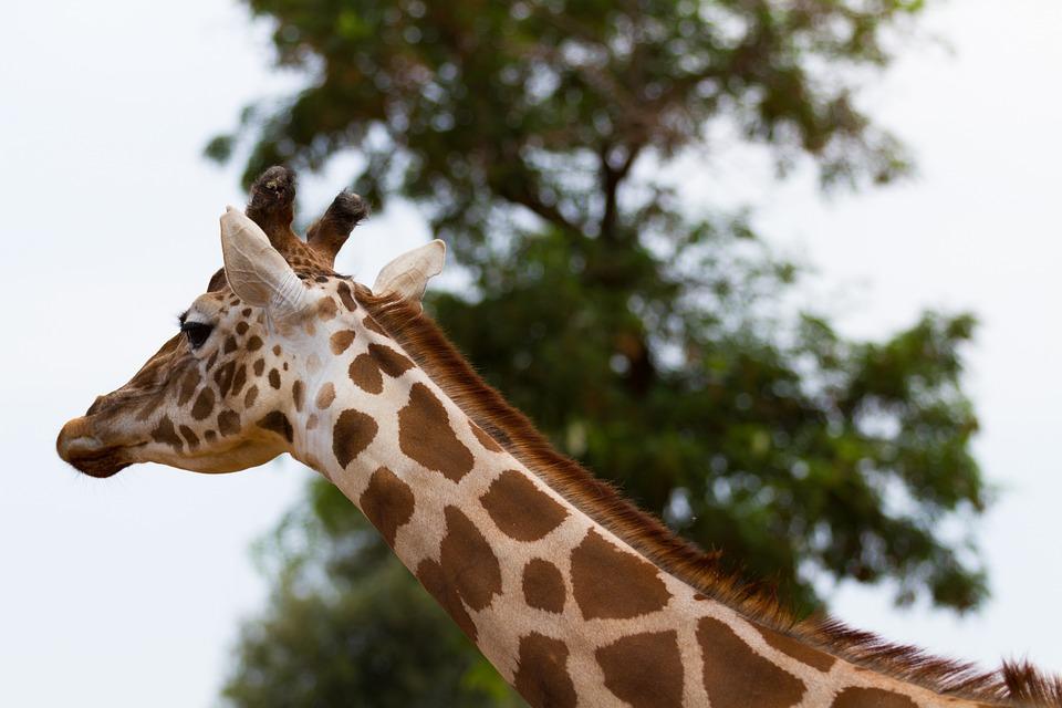 Giraffe, Nature, Animals