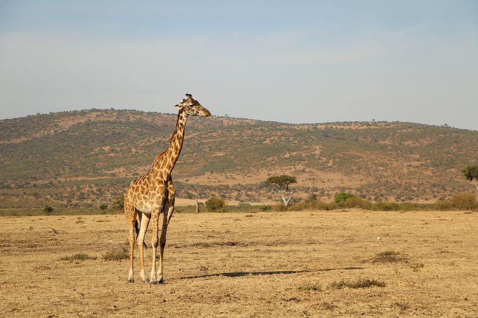 Safari, Giraffe, Nature, Wildlife, Desert, Serengeti