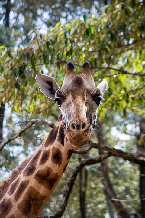 Giraffe, Wildlife, Animals, Forest, Africa