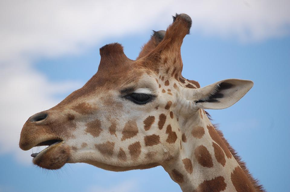 Animals, Nature, Giraffe, Zoo