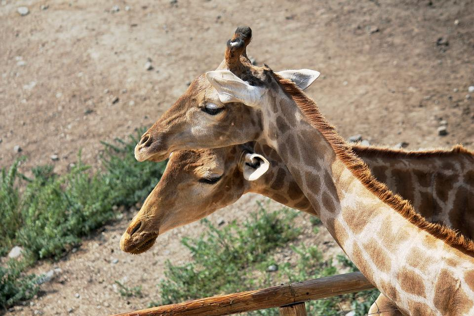 Giraffes, Neck, Animals, Animal, Nature, Head, Fauna