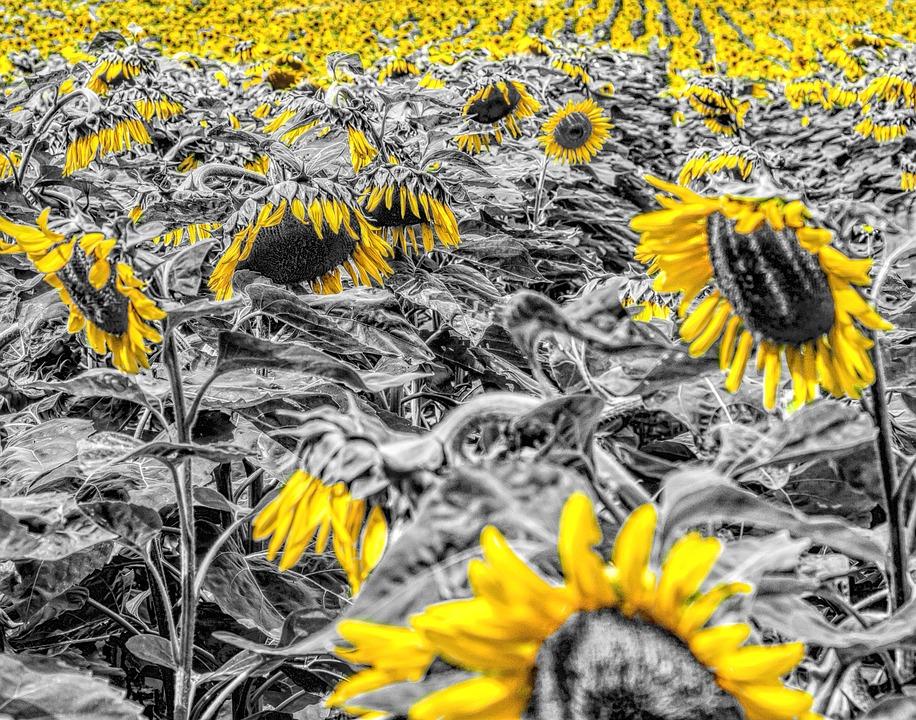 Sunflower Field, Girasol, Sunflower, Mirasol, Girasole