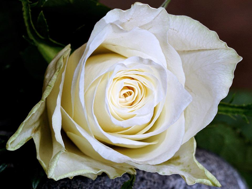 Rose, Flower, Petal, Love, Flowers, Give, Mood