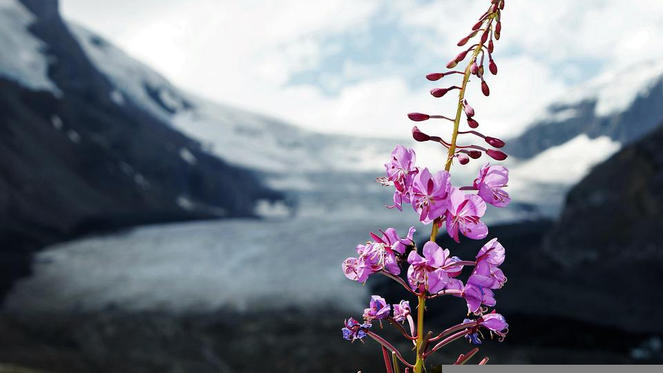 Pink, Flowers, Glacier, Nature, Selective Focus, Canada