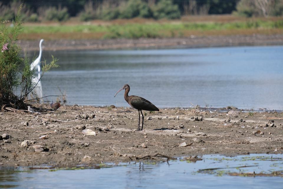 Glossy Ibis, Birdwatching, Danube Delta, Romania