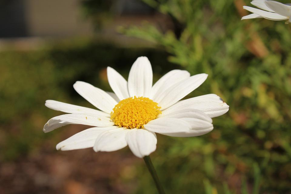 Daisy, Nature, Glower, Flora, Pretty, Summer