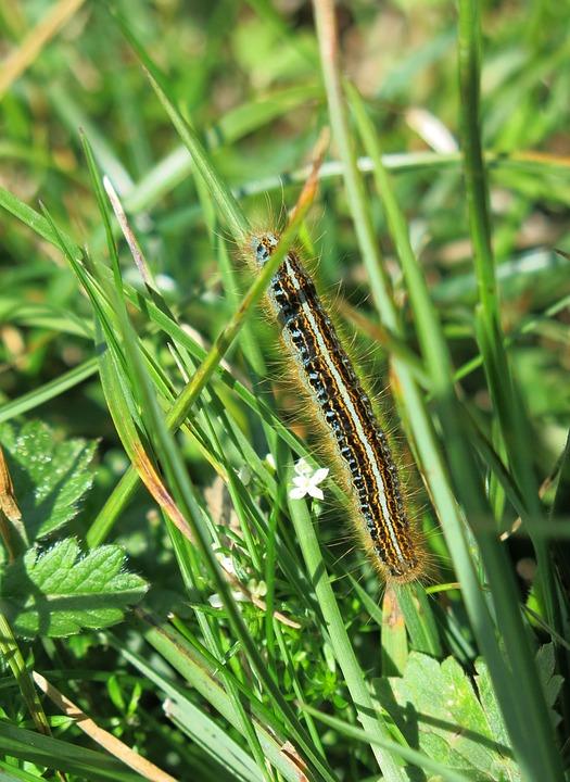 Caterpillar, Bristles, Glutton, Butterfly Caterpillar