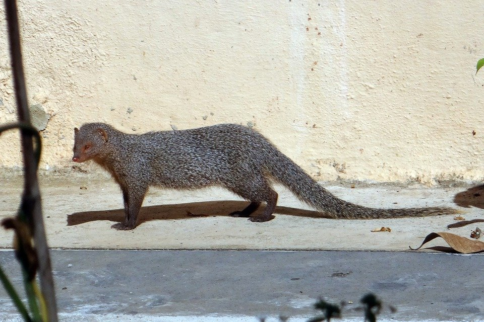 Mongoose, Gnawer, Rodent, Animal, Grey, Mammal, India