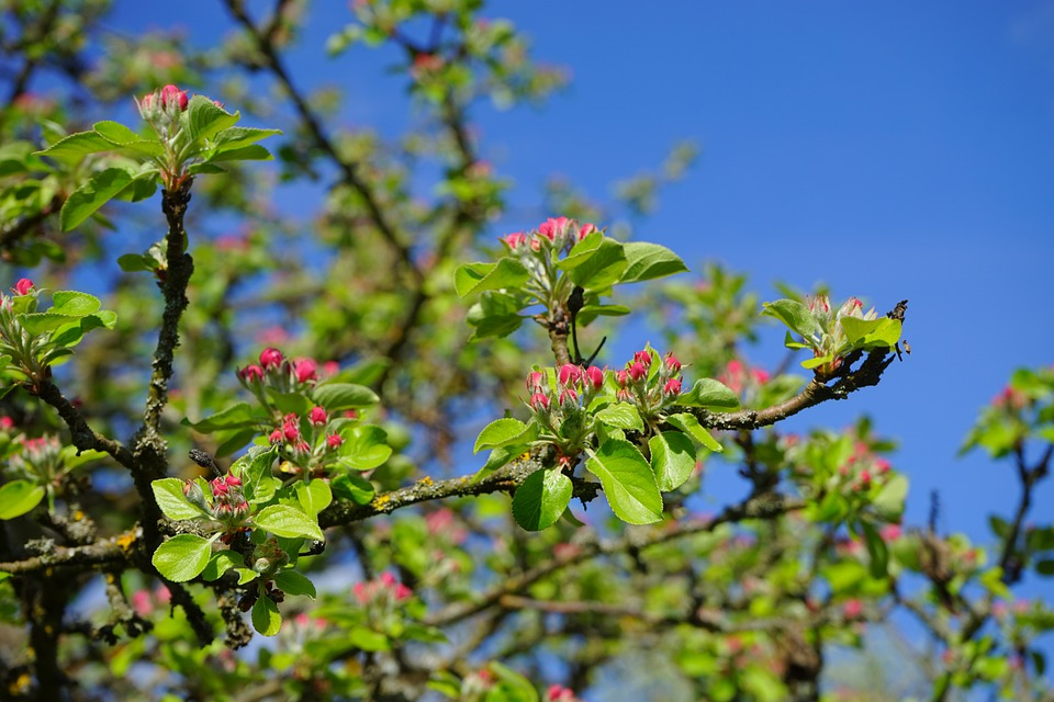 Apple Tree, Apple Blossoms, Flowers, Red, Go Up, Bloom