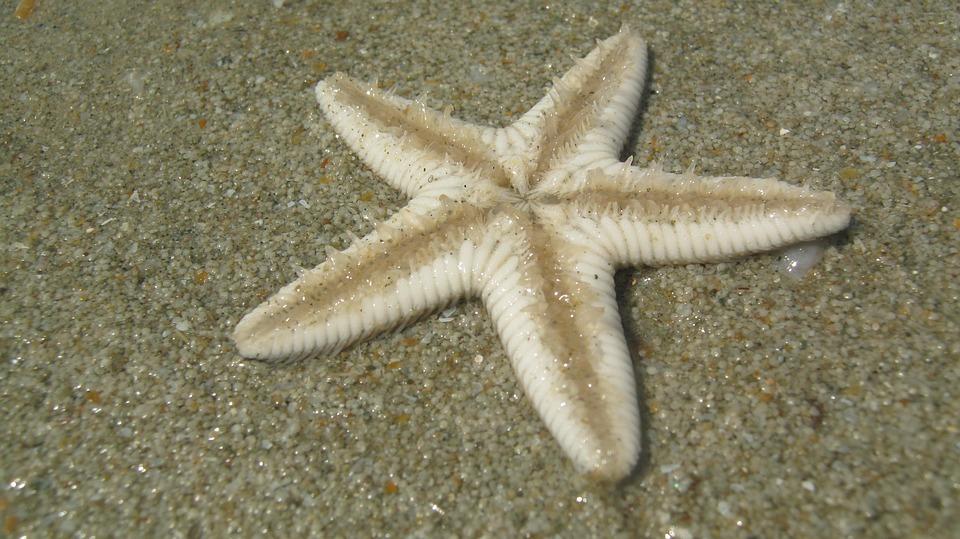 Starfish, Beach, Goa, India, Sand, Vacation, Holiday