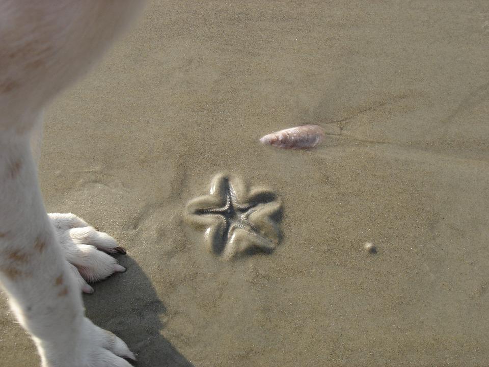 Beach, Sea, Goa, Dog, Starfish, Sand
