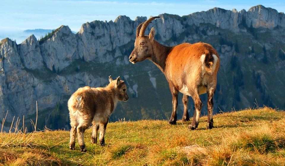 Alps Stone Geiss, Mountain Goat, Goat, Alpine