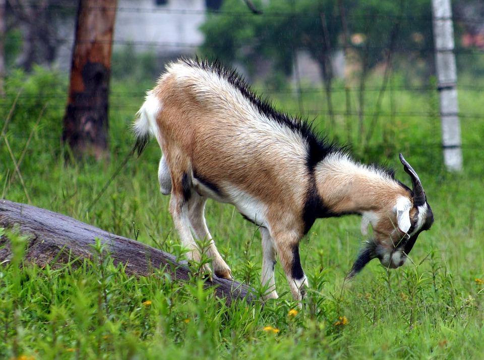 Goat, Animal