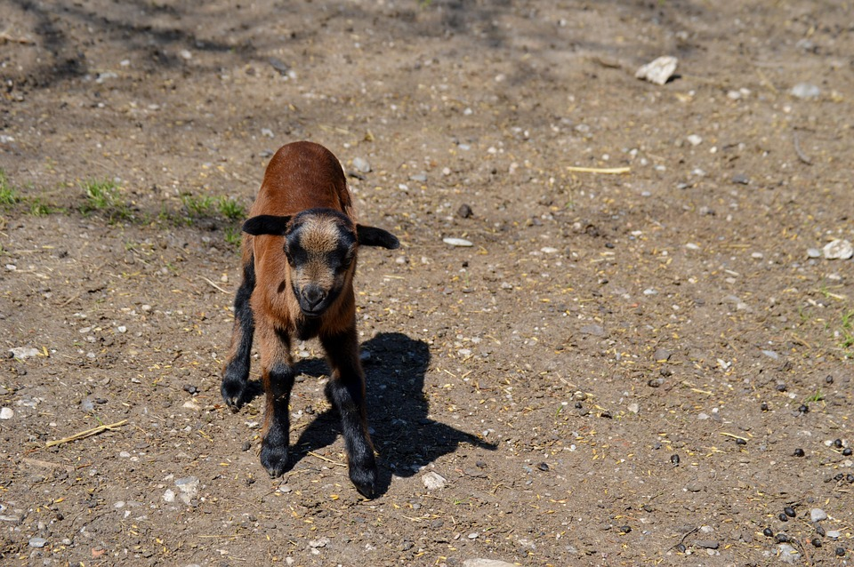 Goat, Animal, Animal World, Nature, Cute