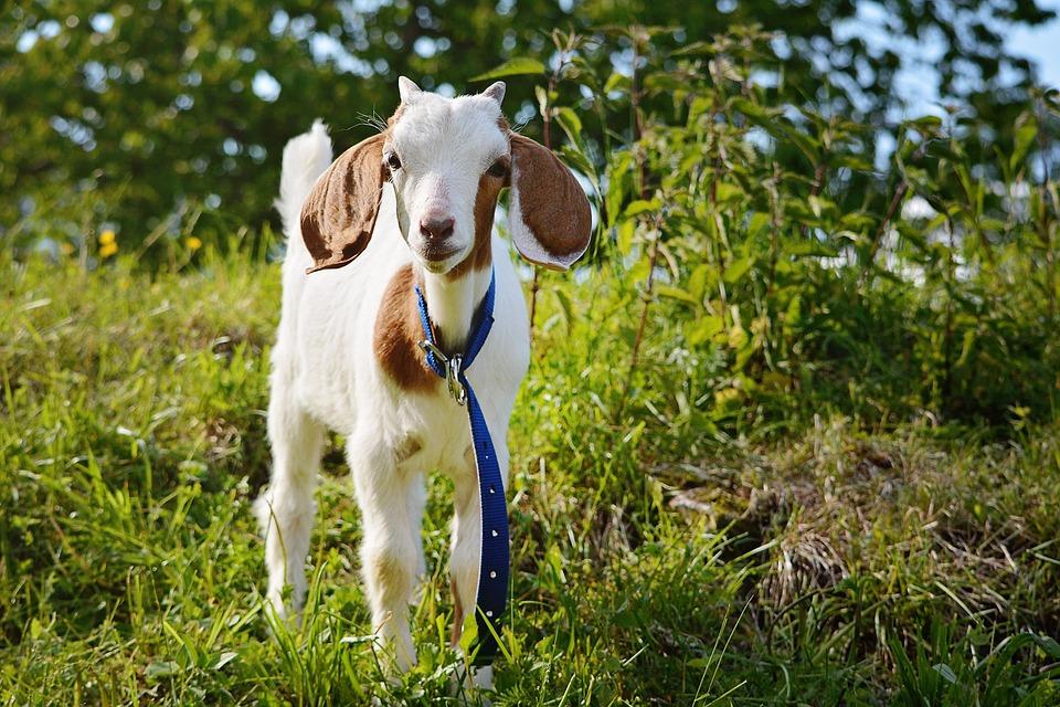 Goat, Kitz, Young Animal, Animal, Mammal, Animal World