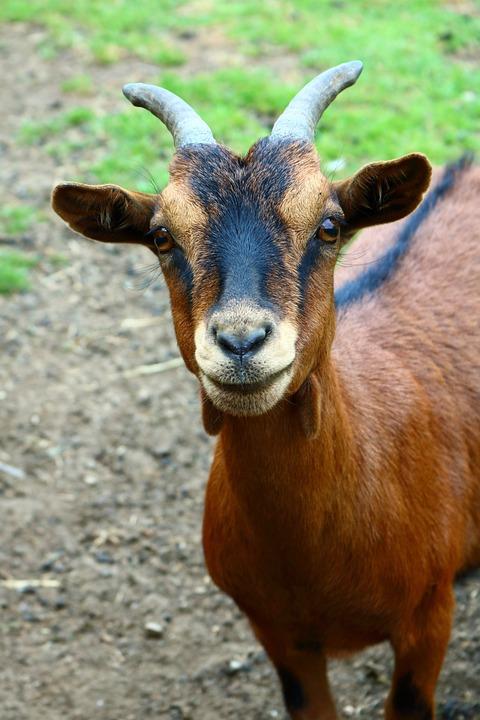 Free photo Goat Animal Mischievous Goat Meadow Goats Farm