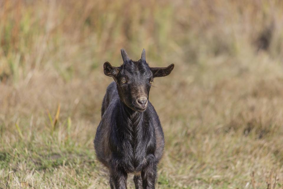 Goat, Kid, Animal, Grass, Dry, Autumn