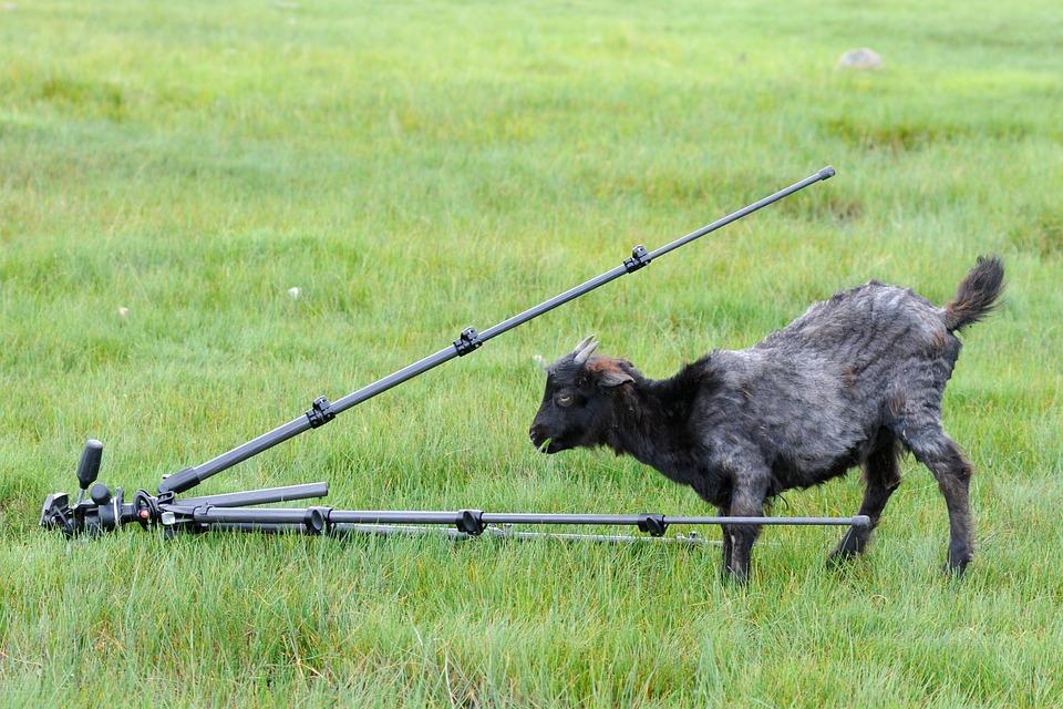 Tripod, Goat, Curiosity