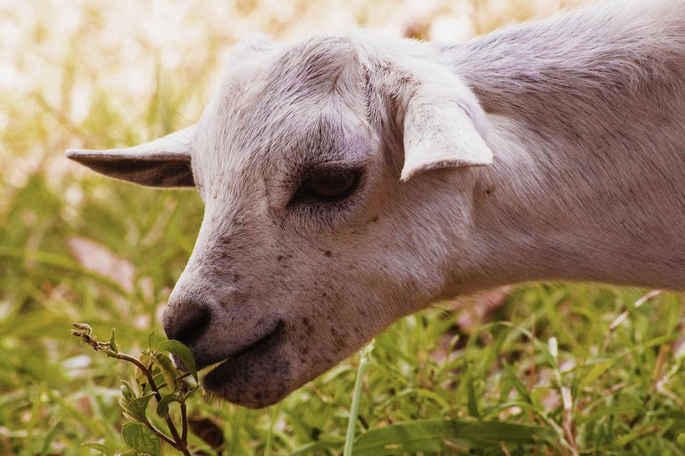 Goat, Goat Eating Grass, African Goat, Animal, White