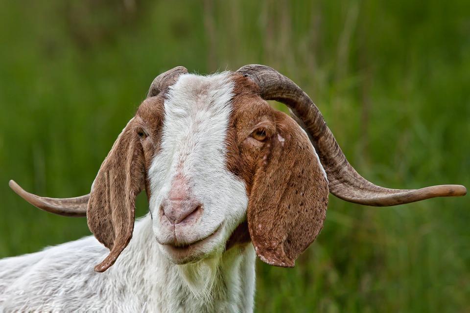 Goat, Animal, Horns, Nature, Mammal, Animal World, Farm