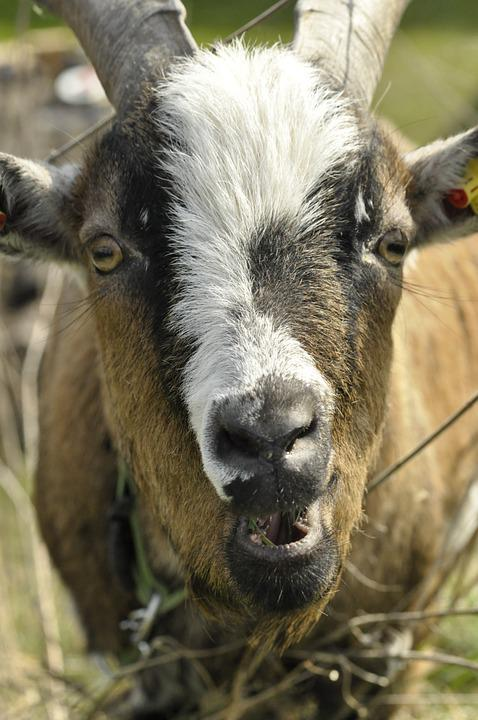 Goat, Animal, Farm, Horns, Nature, Mammals