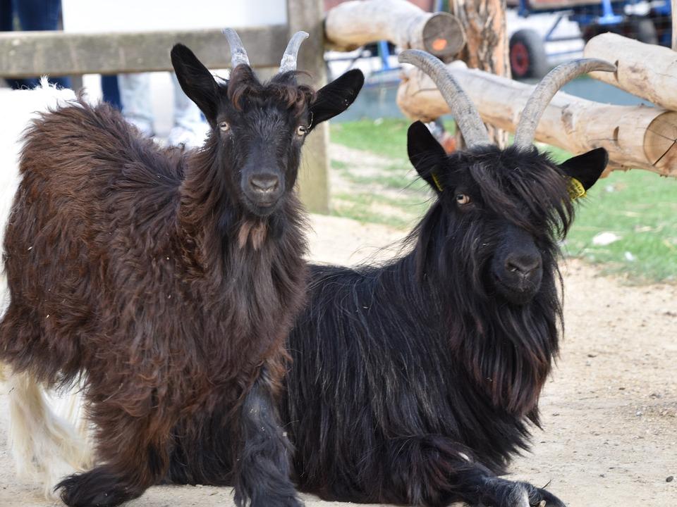 Goat, Horns, Cornu, Mammals, Farm, Nature, Ruminants