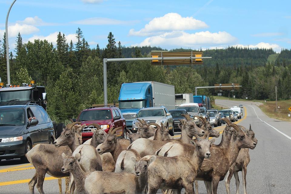 Mountain Goat, Roadblock, Jasper, Alberta, Canada, Goat