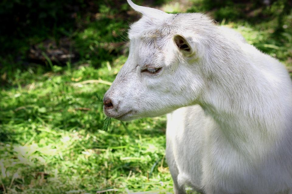 Goat, Livestock, Pet, Billy Goat, Prima Donna