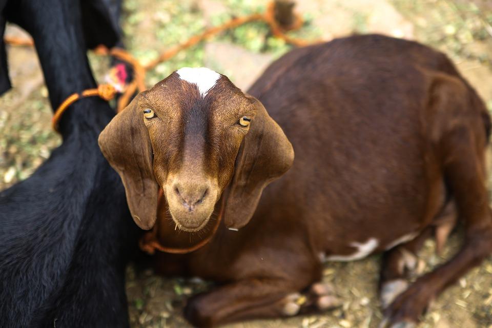 Goat, Funny, Animal, Farm, Cute, Mammal, Domestic