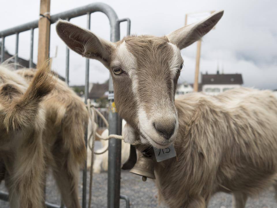 Goat, Geiss, Curious, Agriculture, Baby Goat, Mammal
