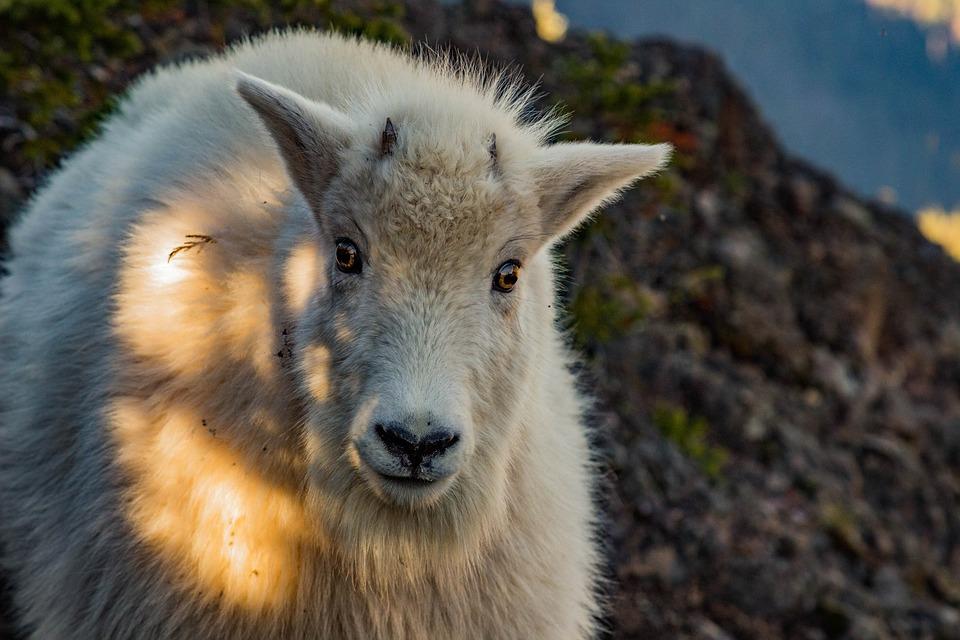 Staring, Goat, Animal, Nature, Mammal, Horns, Nose