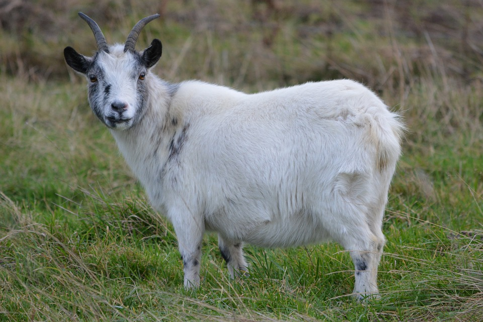 Goat, Animal, Meadow