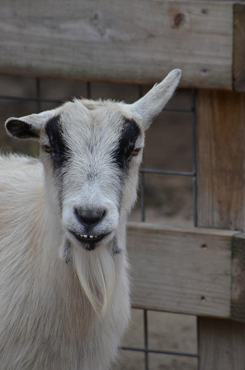 Goat, Moody, Attitude, Drunk, Funny, Animal, Mad