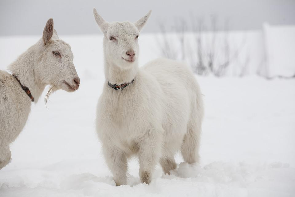 Goat, White, Goats, Snow, Dog Collar