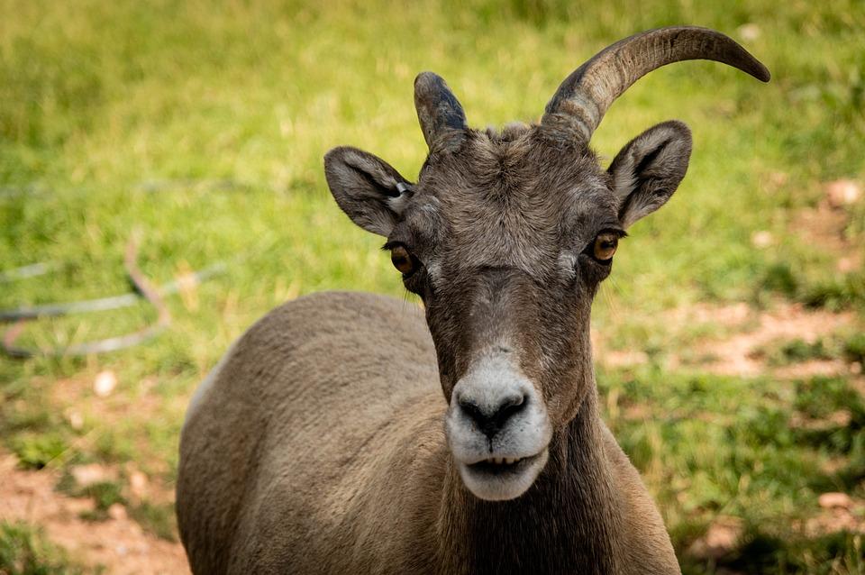Ram, Goat, Animal, Horns, Wild, Domestic, Wildlife