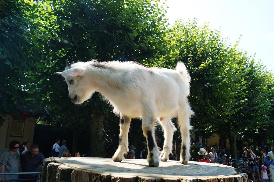 Zoo, Goat, Young Animal, Hamburg, Landscape, Trees
