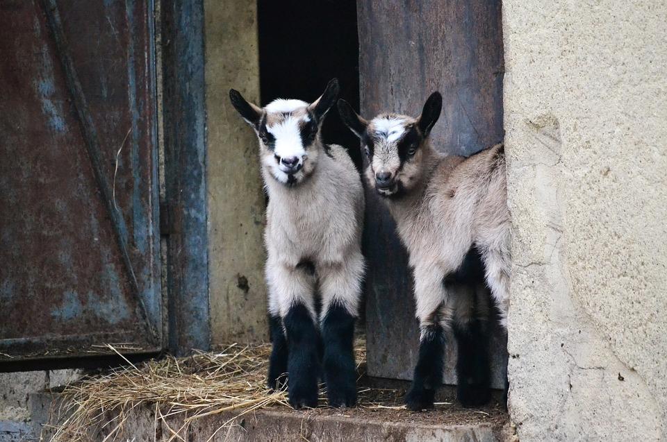 Goats, Animals, Backyard