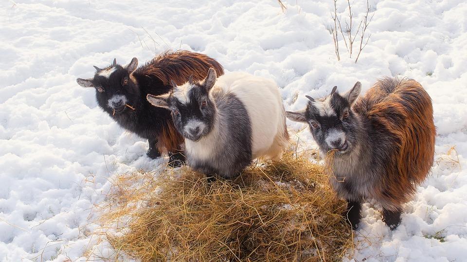 Goats, Animals, Livestock, Cute, Trio, Hay, Straw