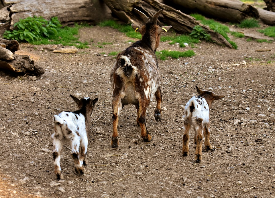 Goats, Mom Young Animals, Playful, Romp, Cute, Small
